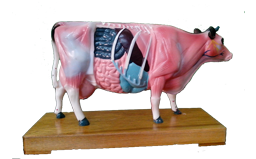 Cow Anatomical Model
