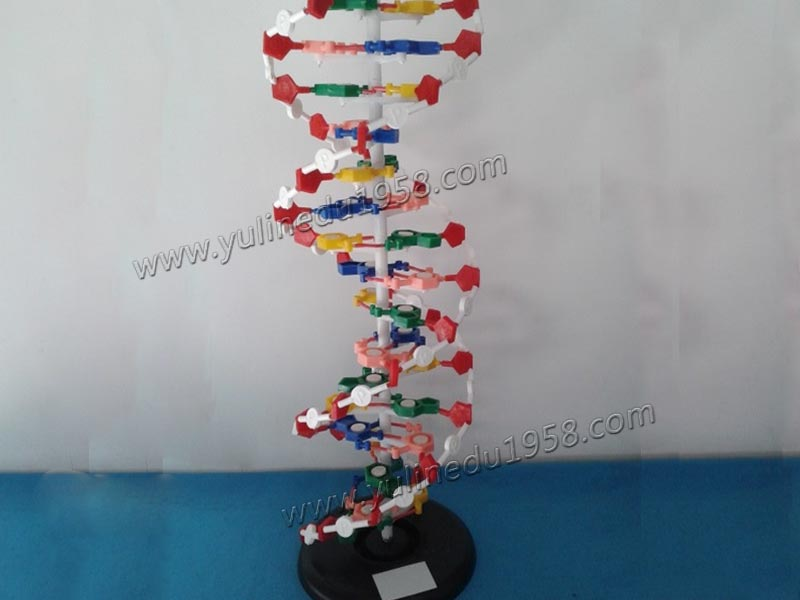 The Model of DNA