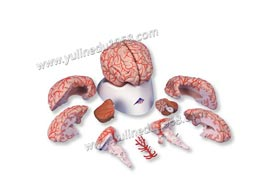 Model of Brain And Cerebral Arteries